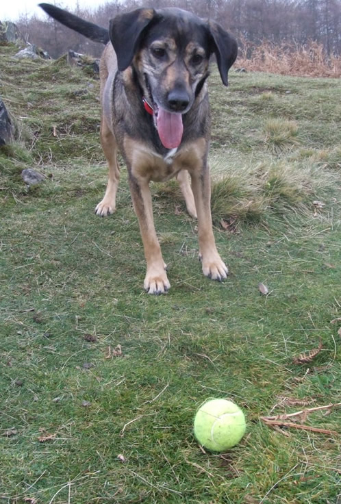 Dog looking pleadingly at tennis ball waiting for it to be thrown