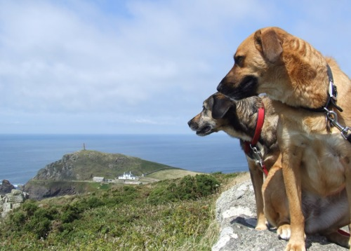 Dogs at Carn Gloose - just south of Cape Cornwall