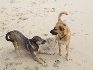 Dogs at play, Porth Kidney Sands