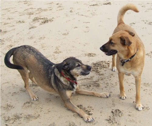 Dogs on the beach at Porth Kidney, near St Ives, Cornwall, August 2008, They have four paws each, quite normal.