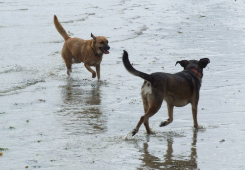 Dogs in the sea at Long Rock